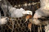İsveç'te kuş gribi felaketi! 1,3 milyon hayvan imha edildi