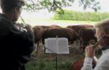 Danimarka'da iki müzisyen sığır sürüsüne müzik ziyafeti sunuyor