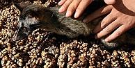 En pahalı kahve hayvan dışkısından yapılıyor!