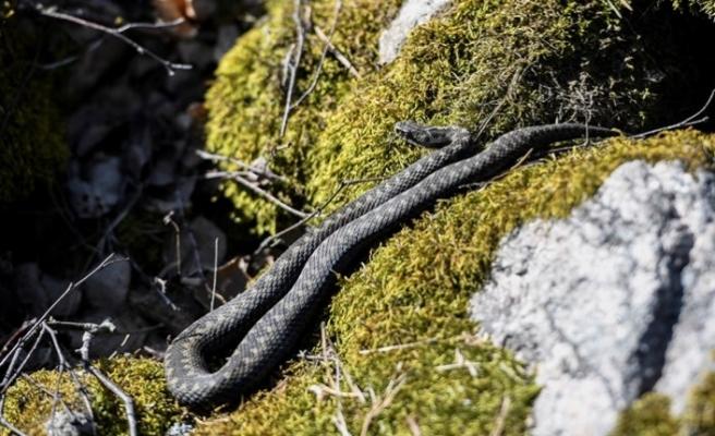 İsveç'te piknik ve mangal yapanlara dikkat: Her an yılan sokabilir