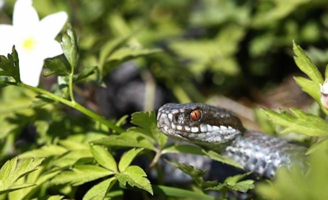 İsveç'te bu yaz 350 kişiyi yılan soktu