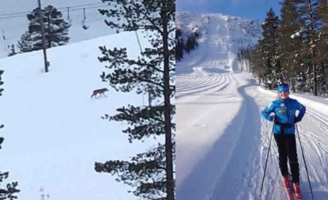 İsveç'te vahşi kurtlar kayak merkezine indi