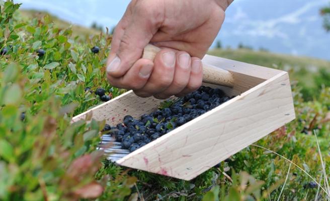 Meyve toplamaya giden İsveçli, ceset parçasıyla karşılaştı