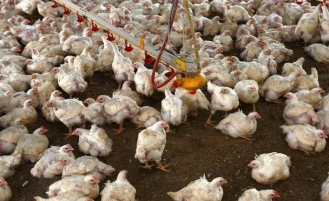 Kuş gribi tehlikesi büyüyor: Hollanda ve Japonya'da yüzbinlerce tavuk itlaf edildi