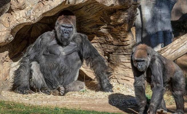 Gorillerde ilk defa koronavirüse rastlandı