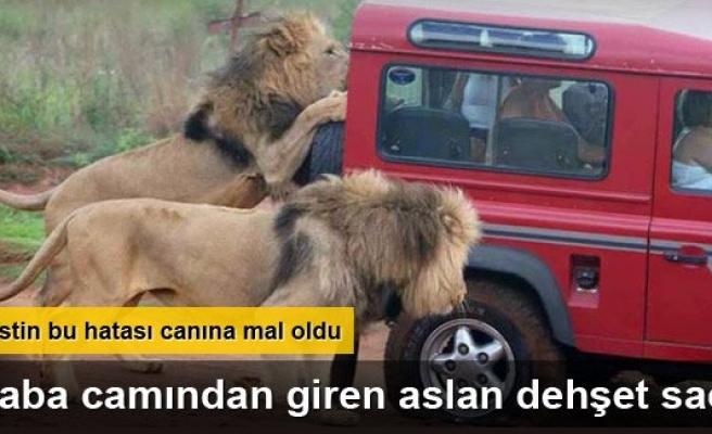 Aslan arabanın camından girip turisti öldürdü!