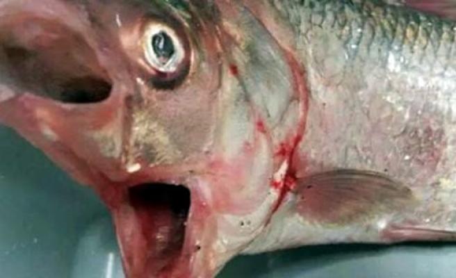Balıkçıları şoke eden iki ağızlı balık