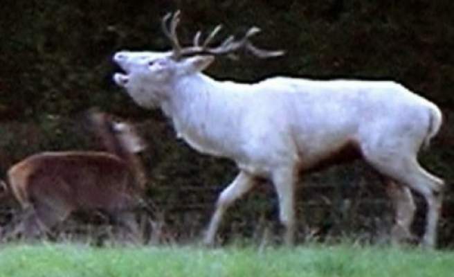 Ender rastlanan beyaz geyik İsveç'te görüntülendi