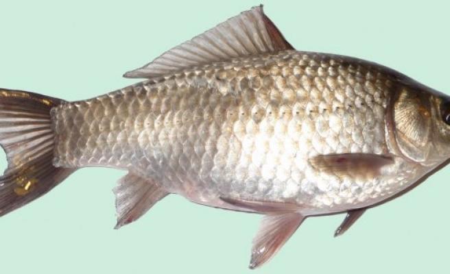 Hirfanlı'nın Gümüş balıklarına İsveç'te büyük rağbet