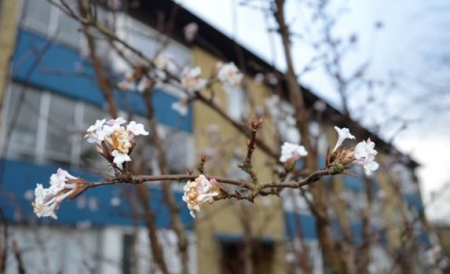 İskandinvya'ya bahar geldi, ağaçlar çiçek açmaya başladı