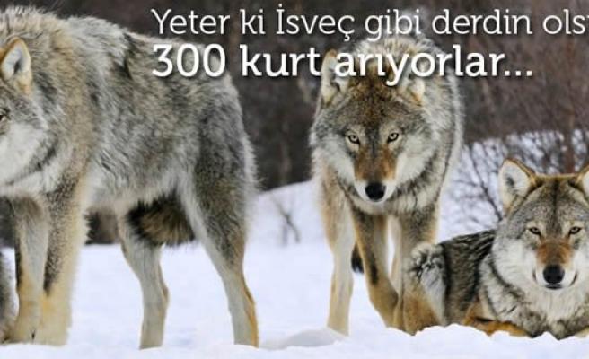 İsveç'in 300 kurda ihtiyacı var!