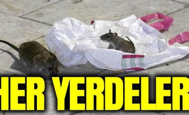 İsveç'te fare istilası