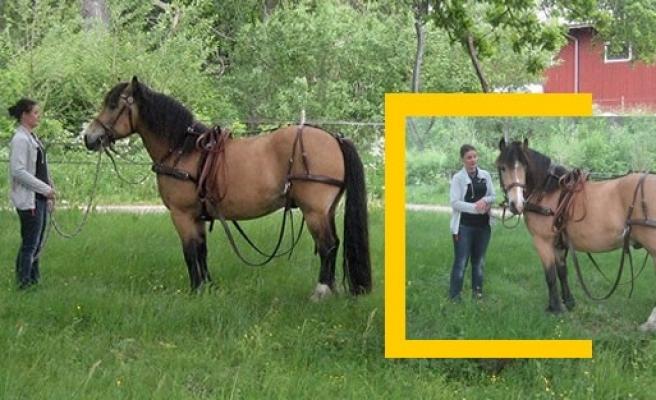İsveç'te bu atı bulana 10 bin kron ödül!