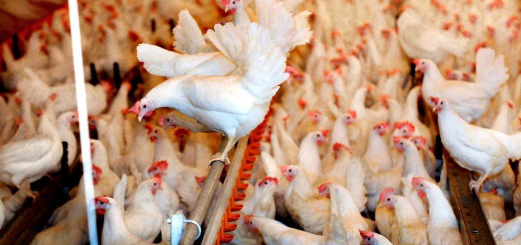 İsveç'te kuş gribi nedeniyle milyonlarca kanatlı hayvan itlaf edildi