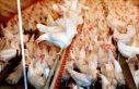 İsveç'te kuş gribi nedeniyle milyonlarca kanatlı...