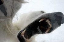 Kutup ayısı turisti hastanelik etti!