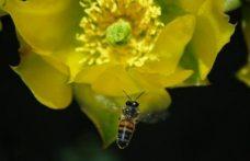 Bilim insanları, Covid-19'u saniyeler içinde tespit edebilen bal arılarını eğitiyor