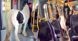 Tramvayda hiç at olur mu?