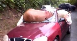 Akıl almaz kaza! At arabanın içine düştü!