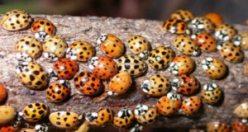 Normal uğur böcekleri gibi görünüyorlar ama değiller