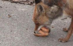 Sandviç yapan aç tilki sosyal medyada fenomen oldu