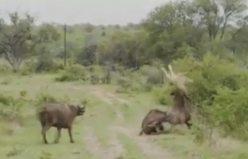 Bufalo'nun intikamı İsveç televizyonunda