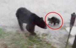 Eve girmeye çalışan Ayı'nın karşısına cesur kedi çıkınca
