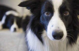 Göteborg'da köpekleri öldüren bakteriyel...