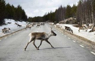 İsveç'te sürücüler için yolda geyik var...