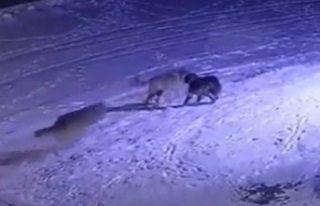 Aç kalan kurtlar Kulu'da köpek yedi