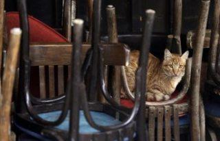Belçika'da bir kedi, sahibinden koronavirüs...