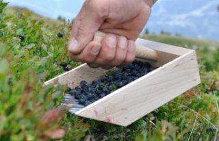 Meyve toplamaya giden İsveçli, ceset parçasıyla...