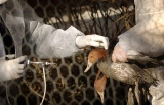 İsveç'te kuş gribi felaketi! 1,3 milyon hayvan...