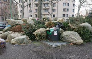 Noel'de evleri süsleyen milyonlarca çam ağacına...