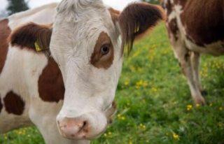 Almanya'da ineklere tuvalet eğitimi