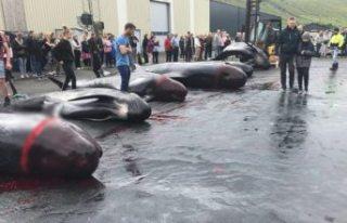 Danimarka'daki katliamda 53 yunus daha vahşice...