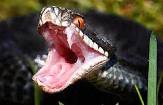 Bu yılan İsveç'te korku saçıyor!