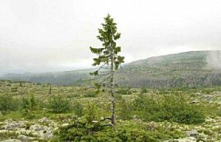 Dünyanın En Yaşlı Ağacı,İsveç'te