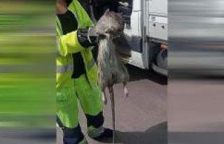 Götebrog'de dev fare görenleri şaşırttı