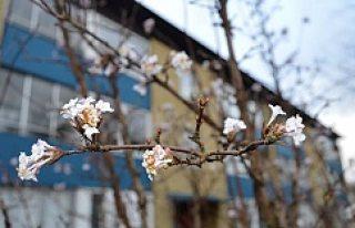 İskandinvya'ya bahar geldi, ağaçlar çiçek...
