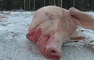 İsveç'te cami arsasına 9 domuz başı bırakıldı