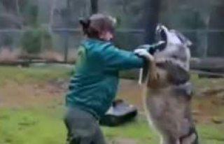 İsveç'te hayvan bakıcısı Kurt'la kavga...