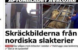 İsveç'te ve Finlandiya'da kesim hayvanlarına...