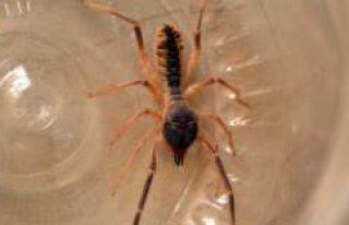 Kulu'da 'Et yiyen' örümcek tedirginliği...