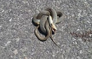 KULU'da yılan paniği
