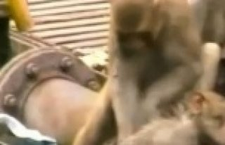 Maymun'dan duygulandıran, ''İnsanlık Dersi!''VİDEO