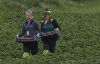 Finlandiyalılar, 22 yıl sonra çilek tarlalarına geri döndü