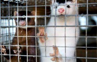 İsveç'teki bir çiftlikte hem hayvanlarda, hem de çalışanlarda koronavirüs çıktı