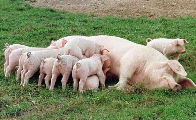 Domuzlardan insanlara bulaşan yeni koronavirüs tehlikesi