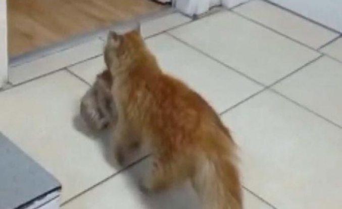 Anne kedi, hasta yavrularını ağzında taşıyarak veterinere götürdü
